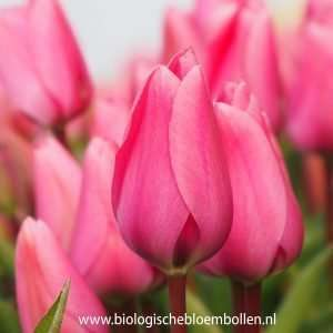 Tulipa Big Love